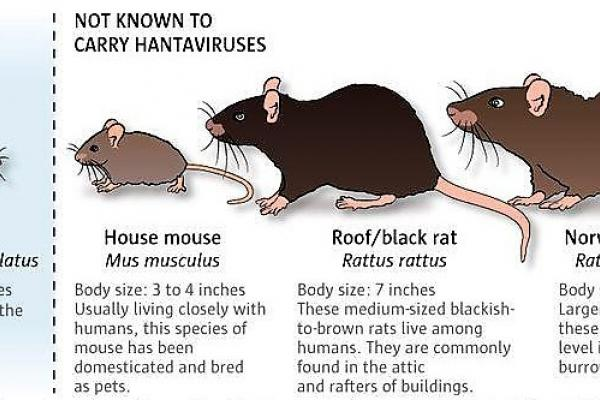 Hantavirus: a mouse's rare dangerous gift