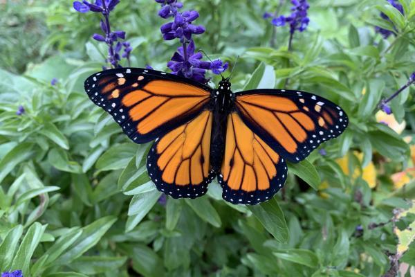 Citizen scientist duo tag Monarchs